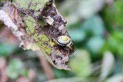 Sleeping Snail (benjaminfuchs) Tags: wildlife zoom 650d eos canon macro 18250 sigma snail