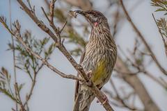 Wayne's Lunch (BlueberryAsh) Tags: birds backyard tamron150600 nikond750 redwattlebird wattlebird australianbird