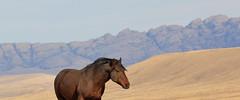 Prairie Schooner (chad.hanson) Tags: mustang wildhorses wildlife wyoming greenmountainhma