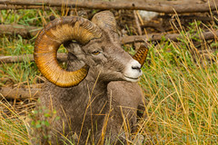 Taking a little R and R {Explored} (ChicagoBob46) Tags: rockymountainbighornsheep bighornsheep sheep ram yellowstone yellowstonenationalpark nature wildlife explored explore