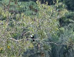 White-throated Toucan (ramphastos toucans) partly hidden in tree (Paul Cottis) Tags: napo ecuador rainforest amazon paulcottis 16 august 2016 bird toucan
