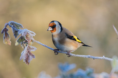 Frosty Goldfinch (steven waddingham) Tags: stevenwaddinghamphotography bird wild nature song