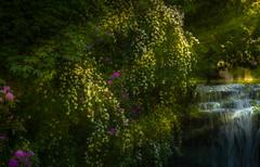 Jesmond Dene Park Newcastle- (Allan A Albery) Tags: blue jemonddene sonya7ii sonyzeiss2470mmfe lightroom light rays waterfall rhodendum trees landscape flowers atmospheric tranquill sunset