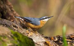 Sitta europaea (Pasquale Sannino) Tags: sitta europaea picchio muratore umbria italy italia wwf oasi alviano birds birdwatching eurasian nuthatch