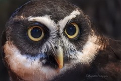 Spectacled Owl (AngelVibePhotography) Tags: owls raptor bird animal owl nature photography macro spectacledowl nikon birds nationalaviary closeup outdoor pittsburgh nikonp900 brown eyes