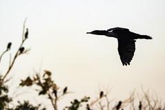 Cormoran à aigrette (yveshebert) Tags: cormoranaaigrette oiseaux oiseauxduquébec outaouais ottawariver birds birdsinflight gatineau