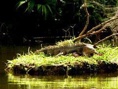 Iguana iguana (Luis G. Restrepo) Tags: p2200891 iguana greeniguana iguanaiguana reptil reptile lizard támesis antioquia colombia southamerica