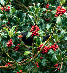 Holly Thief (Ultimate Eeyore 2) Tags: blackbird holly bush berry bird park