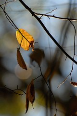 this little light (courtney065) Tags: nikond200 nature landscapes flora foliage leaves autumn fall autumnlight trees depthoffield artistic serene softlight abstract