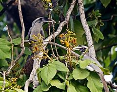 16 3168 - Inde, Agra, les jardins du Taj Mahal, Toucans (jeanpierreossorio) Tags: inde agra tajmahal animaux oiseaux toucan
