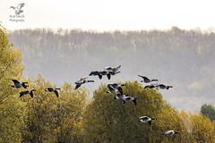Flight of Canada Geese (roderick smith) Tags: canadageese brantacanadensis greylaggoose anseranser attenboroughnaturereserve nottinghamshirewildlifetrust canon eos80d ef100400mmlismkii