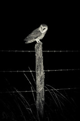 _MG_0441 (gregory smellinckx) Tags: aves birds effraiedesclochers oiseaux strigiformes tytoalba tytonidae tytonidés westernbarnowl droyes alsacechampagneardennelorrain france alsacechampagneardennelorraine fr