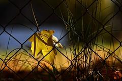 Stuck (nagyistvan8) Tags: nagyistván túrkeve magyarország magyar hungary nagyistvan8 természet nature színek colors háttérkép background fekete sárga barna kék zöld black blue brown yellow fehér white kerítés fence ősz autumn levél leaf leaves stuck fennakadva ngc bokeh bokehlicious 2016 nikon