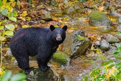 Black Bear (fascinationwildlife) Tags: animal mammal black bear schwarzbär wild wildlife nature natur rock fall autumn river stream creek kanada canada bc leaves cute
