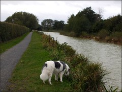 Newport Shropshire canal 111011old photos Liz Callan (4) (LIZ CALLAN) Tags: newport shropshire canal dog bordercollie grass water swans cygnets bridges paths waterlilies lizcallan lizcallanphotograph lizcallanphotography trees outside landscape
