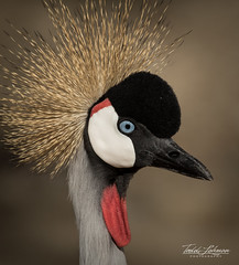 East African Crowned Crane (ToddLahman) Tags: eastafricancrownedcrane thelivingdesert canon7dmkii canon100400 canon bird birds crane closeup portrait