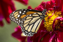 Danaus plexippus (Monarch butterfly / Mariposa monarca) (PriscillaBurcher) Tags: lepidóptero nymphalidae milkweedbutterfly danausplexippus monarchbutterfly mariposamonarca butterfliesfromcolombia mariposasdecolombia l1100066 coth5 ngc