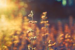 Luster (Ans van de Sluis) Tags: macro nature flower plant bokeh bokehlicious autumn light sun sunrays ansvandesluis art warmth flora floral botanic botanical