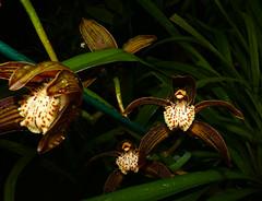 Cymbidium tracyanum 'Citron Sunray' species orchid 11-16 (nolehace) Tags: fall nolehace sanfrancisco fz1000 bloom plant flower 1116 cymbidium tracyanum citron sunray species orchid