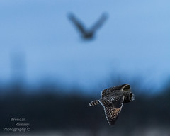 Two short-eared owls in flight. (Brendinni) Tags: shortearedowls bokeh dof owls shorteared stanwoodwa friends shootingwithmk canon canon7d 600mm creamy flight birdofprey raptor pnw pnwcollective