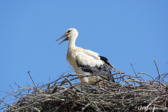 D71_500_00623 - Young Stork  - ready for take off? (EWB Fotodesign ッ) Tags: nikon bird vogel natur nature outdoor bokeh wildlife stork youngstork ngc platinumheartaward rostock ostsee balticsea ewbfotodesign thegalaxystars thegalaxy groupecharlie the galaxy stars