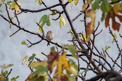 Fluffy Finch. (LisaDiazPhotos) Tags: bird watch watching backyard birding wildlife nature fluffy finch lisadiazphotos