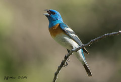 Lazuli Bunting (Jmawnster) Tags: passerinaamoena lazulibunting bunting little cottonwood canyon utah