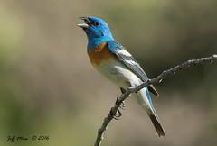 Lazuli Bunting (Jmawnster) Tags: passerinaamoena lazulibunting bunting little cottonwood canyon utah