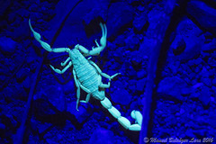 IMG_2616 (Manuel Balcázar Lara) Tags: buthidae scorpion scorpiones centruroides mexico chamela jalisco