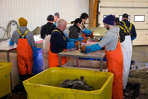 "Lumpfish processing - Grásleppuskurður í fiskmarkaðnum • <a style=""font-size:0.8em;"" href=""http://www.flickr.com/photos/22350928@N02/31331237802/"" target=""_blank"">View on Flickr</a>"