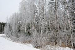 Eisig (Finn-Foto) Tags: hyvink uusimaa finnland mfnikkor35mmf14ais nikond700 nikoncnx2 fin birke