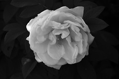 Black and White Flower (Adam Curran) Tags: flower plant black white blackandwhite bw nikond3300 d3300 nikkor lowkey outdoor rose outdoors