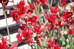 Red Kangaroo Paws (Jan Diamond) Tags: kangaroopaws cranbournebotanicgardens