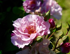 A Rose is a rose is a ray of sunshine (Psychic Insights) Tags: flower bloom rose newzealand otago summer flowers pink cannon depthoffield blossom outdoor nature spring love