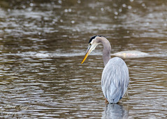 Great Blue Heron - The Hunt! (dbking2162) Tags: wildlife nature wading heron birds bird blue water river outside outdoor muncie indiana shore