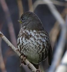 """Sooty"" Fox Sparrow--Passerella iliaca unalaschensis (Polioptila caerulea) Tags: foxsparrow sootyfoxsparrow passerellailiaca passerella littontrail grassvalley nevadacounty california fosp passerellailiacaunalaschensis"