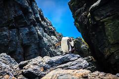 Chile 2013-3721 (sebtac) Tags: chile2013 chile 2013 outdoor 13 reserva nacional pingüino de humboldt