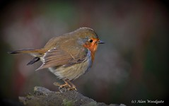 Robin (Alan Woodgate) Tags: robin