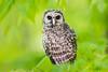 Barred Owl fledgling (Greg Gard) Tags: 1dxii greggard gregorygard strixvaria barredowl bird canon feathers fledgling green greggardcom newjersey nj owl owlet soaked wet young