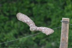 LittleOwl_16062013_6a (Kim Wall Photography (Purplesun2001)) Tags: somerset littleowl nyland kimwallphotography