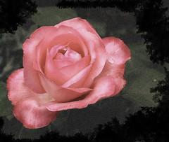 In the Pink (brigittes pics) Tags: flowers roses portrait nature arty