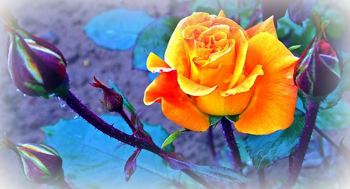 yellow Rose  -  gelbe Rose