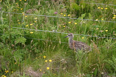 Little Bird... (Owen H R) Tags: baby bird orkney wildlife small young chick curlew owenhr