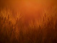 Wheat Field. (J-J-W) Tags: field wheat ottawa olympus f2 omd goldenlight 150mm