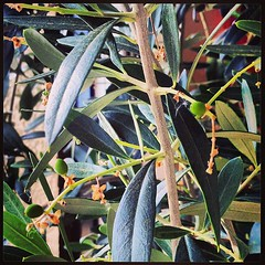 Έλα οι καλές ελιές. Δεν είναι Καλαμών είναι όμως <<Μπαλκονίου>>. #ελιες #Oliven #Olives