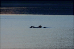 107hdra (markbyzewski) Tags: alaska juneau ugly killerwhale orcas