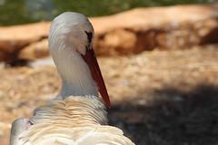 IMG_1748 (richard,s photography) Tags: bird animal zoo cyprus camel owl loin paphos pafos paphosbirdpark