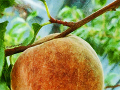 The Peach (Steve Taylor (Photography)) Tags: blue summer orange color colour green closeup fence leaf branch angle bokeh pastel peach growing blackboy skewed peac peah skewwhiff