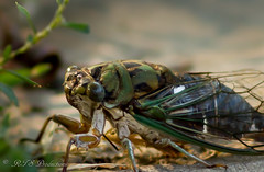 Cool Cicada (Rick Smotherman) Tags: summer stpeters macro nature leaves canon bug garden insect outdoors morninglight backyard wildlife overcast september 7d canon7d canon100mmf28l