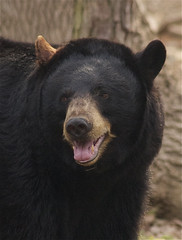 (ucumari photography) Tags: bear black zoo nc north american carolina april ursusamericanus 2013 specanimal ucumariphotography dsc1943